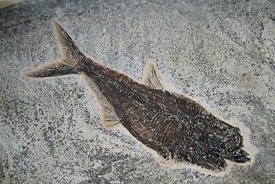 "11.4"" Diplomystus Fossil Fish on Gorgeous Matrix Green River Formation Wyoming"