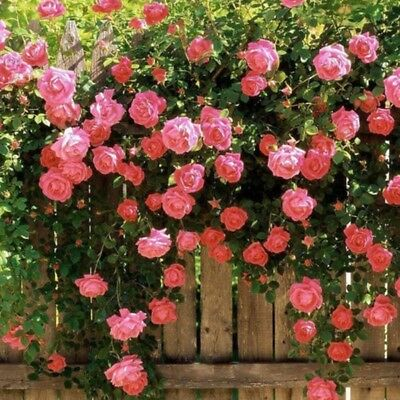100pcs Rose red Climbing Rose Seeds Perennial Flower Garden Decor Home Plant New