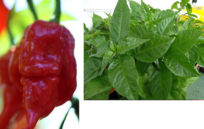 OZ Brain Killer Chilli Plant - One of the Hottest in the World!!!