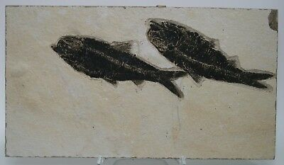 2 Superior Fossil Fish Knightia Green River Formation Wyoming  Eocene
