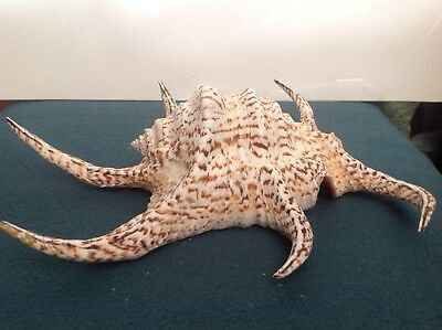 LARGE   EXQUISITE  SEASHELL  19cm long