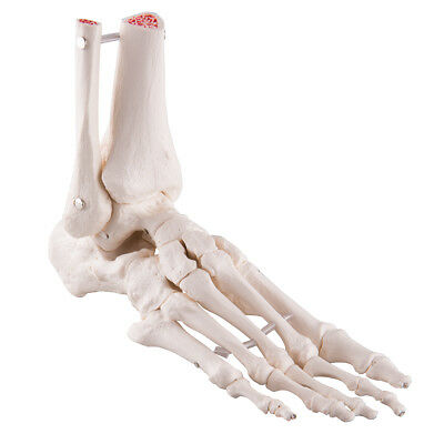 Food and Ankle Skeleton (Right foot) by 3B Scientific  NEW Great for homeschool