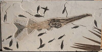 Superb Museum Fossil Fish Crossopholis Paddlefish Green River Formation Wyoming