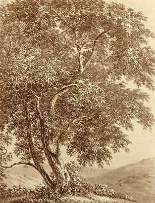 C.GÜNTHER(1759-1824), Sommerl. Holunderbaum in Hügellandschaft, Aquatinta-Rad.