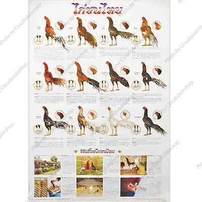 Poster Of Thailand Fighting Cocks All Thai Species Education Chicken Photo