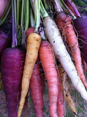 600 x Seeds Heirloom Carrot Colour Mix Rare Heritage NON GMO Organic