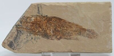 Eye-Catching Fossil Fish Asineops Green River Formation Wyoming Eocene 8.5 cm.