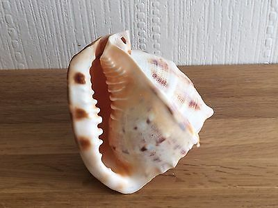 Vintage Collectable Natural Large Conch Shell