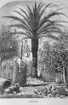 FLORIDA Date Palm Tree in St. Augustine - 1883 German Print