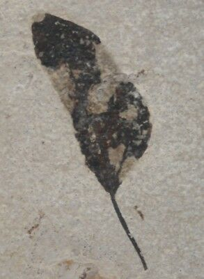 Unidentified Fossil Leaf Green River Formation Wyoming Plant Fish Eocene 8.6 cm.