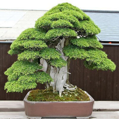 20Pcs Sacred Japanese Cedar Semillas Bonsai Plant Seeds Green
