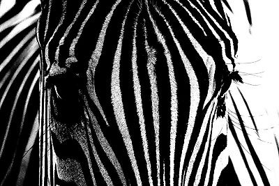 CANVAS PRINT READY TO HANG or ROLLED FROM A4 - Zebra Close up 01