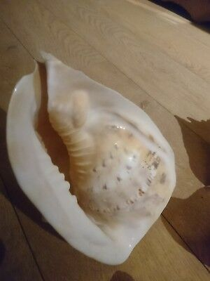 sea shell collection conch