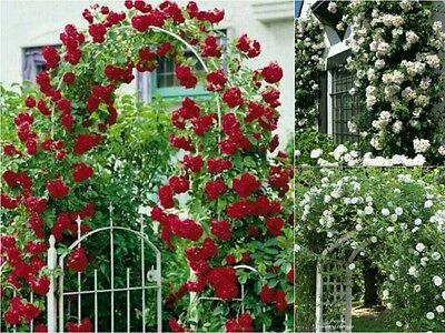 20 Premium CLIMBING ROSE Seeds 10 RED & WHITE Arch Ways Fence Vine Garden Gift