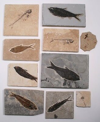 10pc Good Quality Fossil Fish Plant Insect Set Green River Formation Wyoming