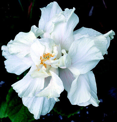 "Hibiscus rosa sinensis ""White Kalakua"" x 1 small plant. Ask for combined postage"