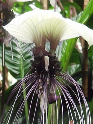 10 Seeds - White Bat Flower - Tacca integrifolia (White Batflower)