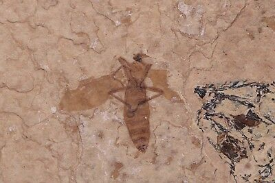 Fossil March Fly and Part fish Green River Formation Wyoming Post-Dinosaur Era