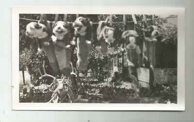 1936 Peggy The Boston Terrier Dogs Litter 6 Puppies On Clothes Line In Socks