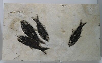 4 Museum Fossil Fish Knightia Green River Formation Wyoming