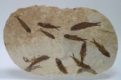 Twelve Knightia Mortality Plate Fossil Fish Green River Formation Wyoming Eocene