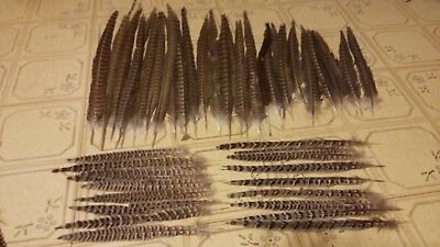 50 Pheasant Feathers Great For Powwow Crafts Mandelas Headdresses Fly Tying