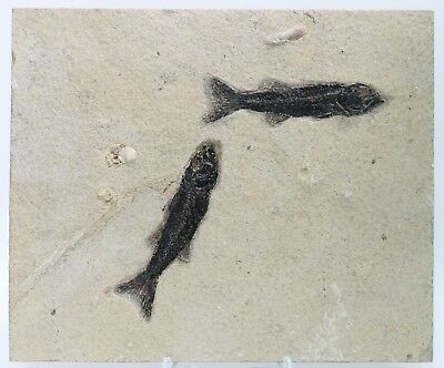 2 Dark Mioplosus Fossil Fish Green River Formation Wyoming Eocene