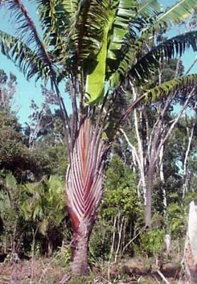 50 Seeds - RED Traveller's Palm - Ravenala sp. Honkondambo