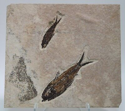 2 Knightia good color Fossil Fish Green River Formation Wyoming Eocene