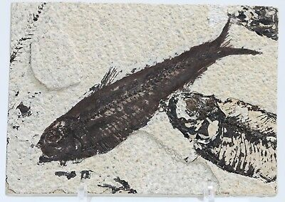 Fossil Fish Knightia w parts of Multiple Fish Green River Formation Wyoming