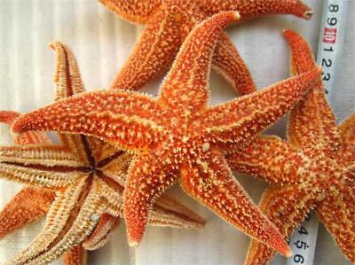 Starfish Natural Shell Dry Specimen Collectibles Sea Dried Specimens Thorns Star