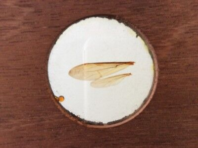 "Large 7"" x 3"" Victorian Microscope Slide mounted in Wood / Insect Wing / Darwin"