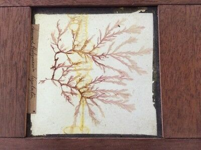 "Large 7"" x 3"" Victorian Microscope Slide mounted in Wood / Plant / Darwin"