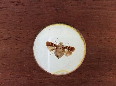 Large 7x3 Victorian Microscope Slide Wood Mounted Moth / Insect / Darwin