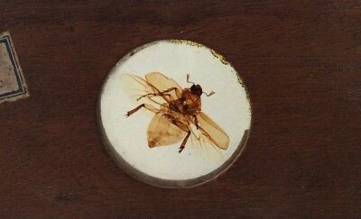 Large 4x2 Victorian Microscope Slide Wood Mounted Fly Insect Bug / Darwin