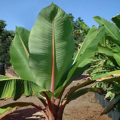 Snow Banana - 10 Quality Seeds - Ensete glaucum