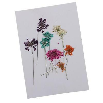 10pcs Pressed Real Dried Flowers Lace for DIY Floral Arts Crafts Card Making