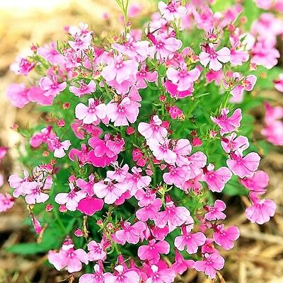 """Trailing Lobelia """"Fountains Rose"""" x 200 seeds. Ask for combined postage"""