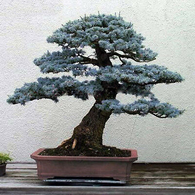 50pcs Evergreen Tree Bonsai Seed Colorado Blue Spruce (Picea pungens) Home·Decor