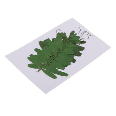 10 x Pressed Dried Bean Leaves DIY Real Leaves Flowers Case for Phone Decor