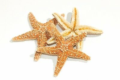 "Sugar StarFish Sea Shell Wedding Real Craft 3"" - 4"" (3 pcs) #JC-57"