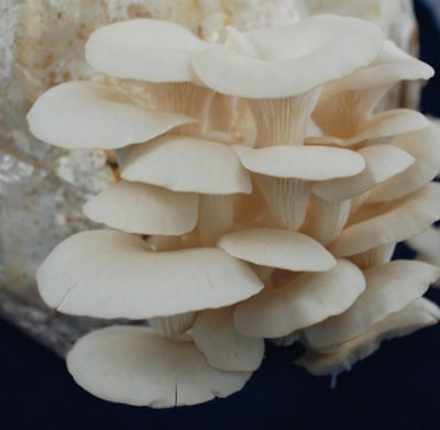 5gr/0,2(oz)WHITE PEARL OYSTER,Mycelium Spawn Dried Seeds for logs and supstrats
