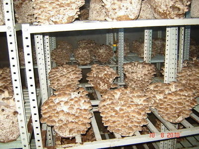 5gr/0,2(oz)SHIITAKE Mushroom ,Mycelium Spawn Dried Seeds for logs and supstrats