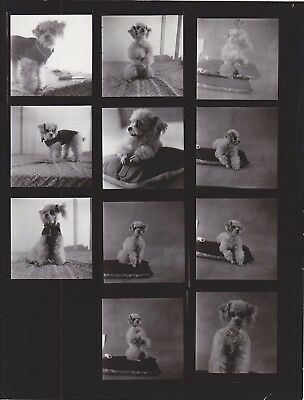 Dressed Miniature Poodle Lilly Dache Model Dog Vintage Photo Shoot Contact Sheet