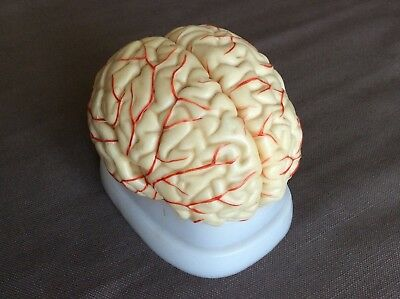 Vintage Human Brain Anatomical Medical Model Dissection Lifesize Organ Old Fab!