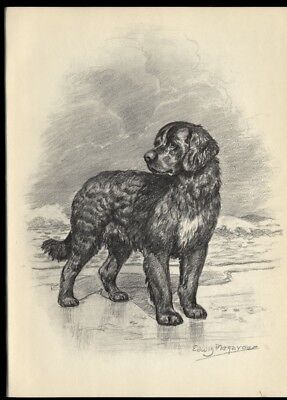 Newfoundland Dog: after Edwin Megargee Painting Authentic 1953 Book Illustration