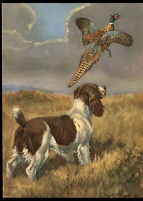 Springer Spaniel: after Painting by Edwin Megargee: Authentic 1953 Book Plate