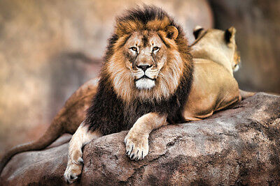King of the Pride (Lion) Maxi Poster 61cm x 91.5cm PP34092 - 166