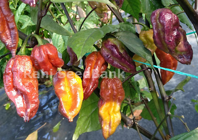 Pink Tiger X Yaki Blue - A Stunning Hot Chilli Variety - Australian Grown Seeds!