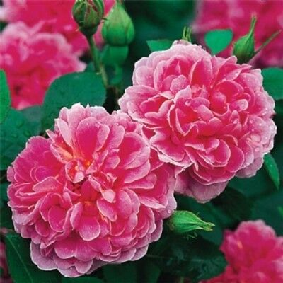 The Country Man David Austin Rose Bush Rose Plant Bare Root Rose Fragrant Rose